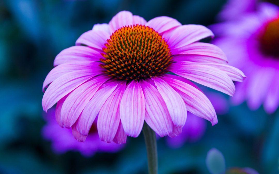 Zdraví = Echinacea (třapatka)